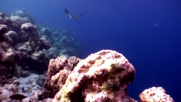 Manta ray ramp fish underwater on background of amazing seabed in Maldives.