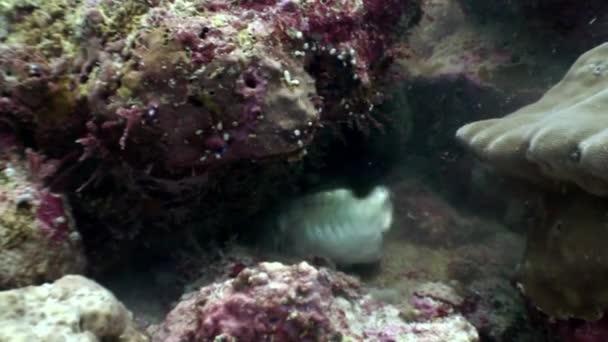 Black Moray eel eats fish food underwater on seabed in Maldives.