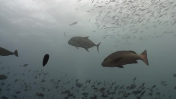 School of horse mackerel scad fish underwater in search of food in Maldives.
