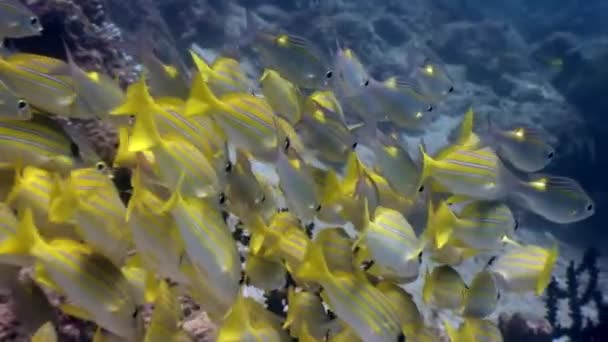 School of striped yellow fish underwater on background of seabed in Maldives.