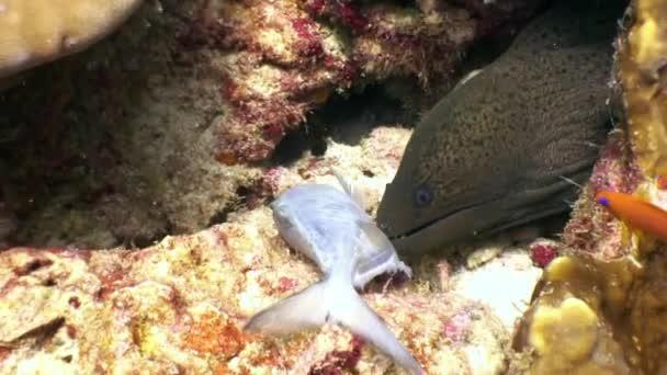 Black Moray eel captures prey food fish underwater on seabed in Maldives.