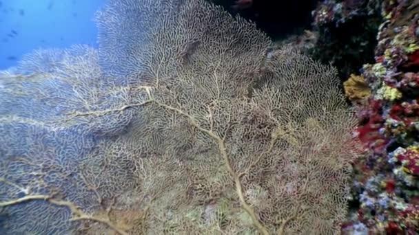Gorgonaria Subergorgia hicksoni coral underwater on amazing seabed in Maldives.