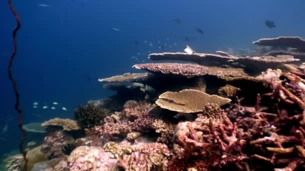 Hard coral acropora underwater on amazing seabed in Maldives.