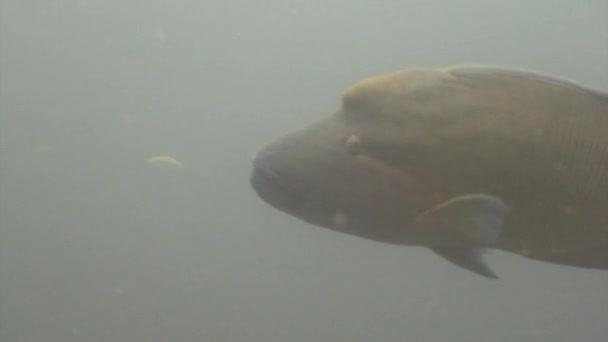 Napoleon fish wrasse underwater natural aquarium of sea and ocean in Maldives.