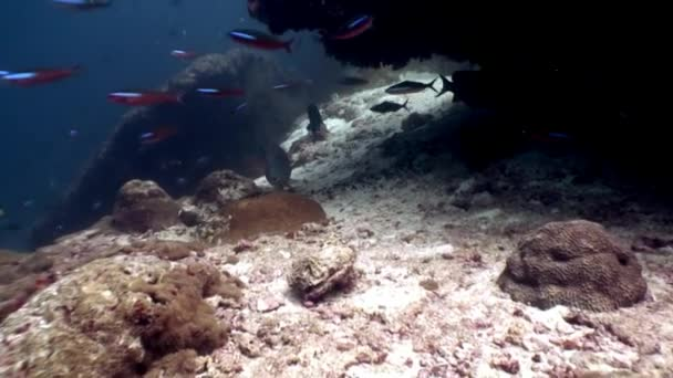 Parrot fish underwater eats coral on seabed in Maldives.