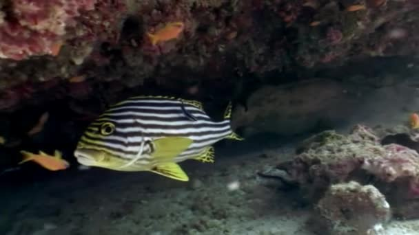 Striped yellow fish underwater on background of seabed in Maldives.