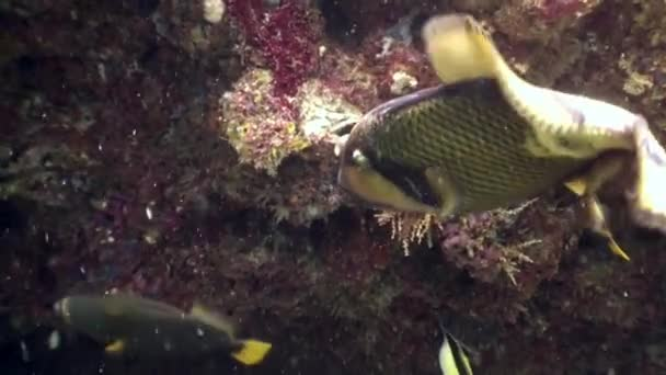 Triggerfish unicorn fish underwater eats coral on seabed in Maldives.
