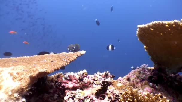 Hard coral acropora underwater and amazing butterfly fish in Maldives.