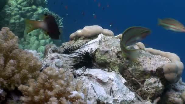 Hal megeszi a halott a fekete-tengeri sün Echinothrix diadema víz alatti.