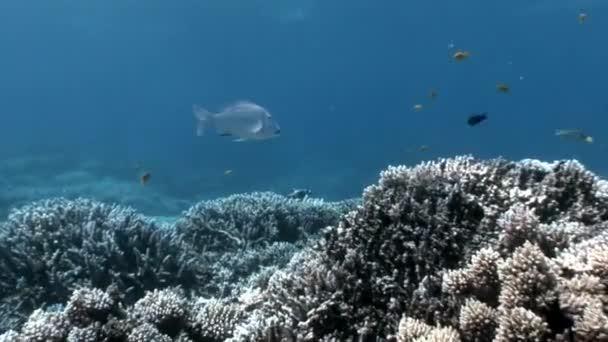 Zátony különböző korallok víz alatti Vörös-tenger.