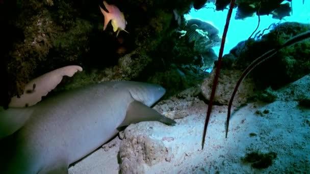 Shark is sleeping in the reef in lagoon ocean.