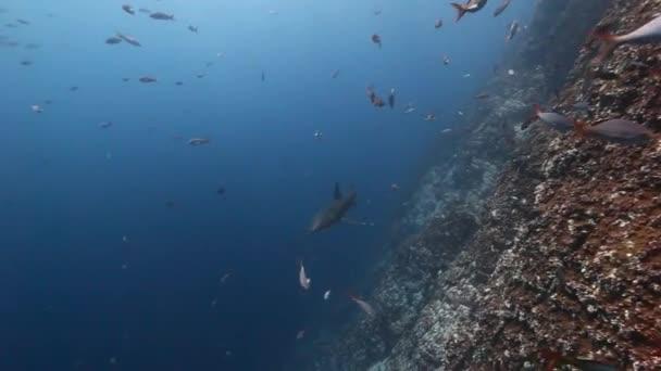Hai in der Nähe von Riff auf der Suche nach Nahrung unter Wasser im Pazifik.