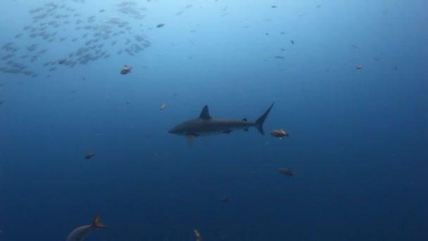 Großer Hai vor dem Hintergrund von Schulfischen unter Wasser im Pazifik.