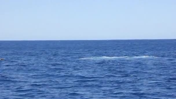 Whale wag his tail on water surface in Pacific ocean.