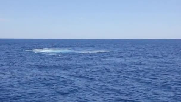 Whale waving his fin on water surface in Pacific ocean.