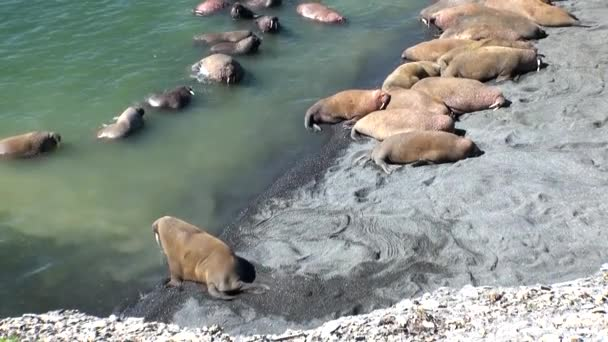 Group of walruses rest on shores of Arctic Ocean on New Earth in Russia.