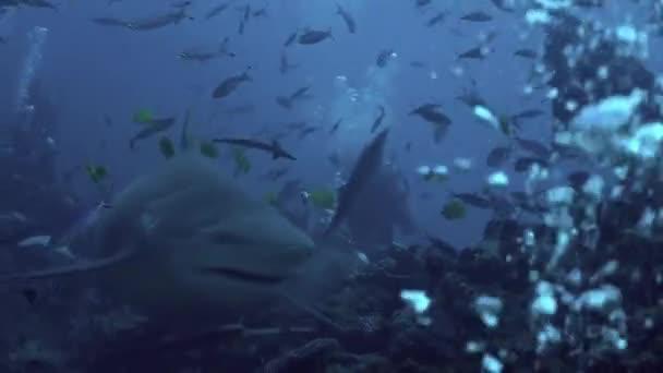 A közeli szürke bikacápa a Tonga tenger alatti búvárok közelében eszik halat..