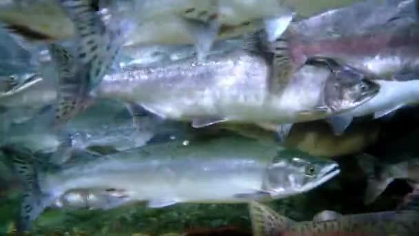Salmonidae Oncorhynchus gorbuscha salmon fish underwater in sea.