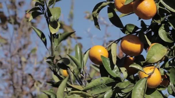 Oranžové mandarinky rostou na stromě, zelené listy, vítr kolébal
