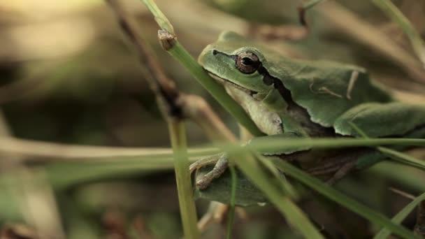 Žáby zelené barvy sedí v zelené trávě