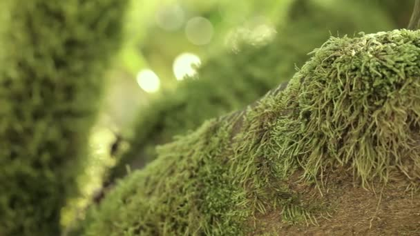 Na větvi mandarin strom krásným zeleným mechem, na pozadí paprsky teplého slunce