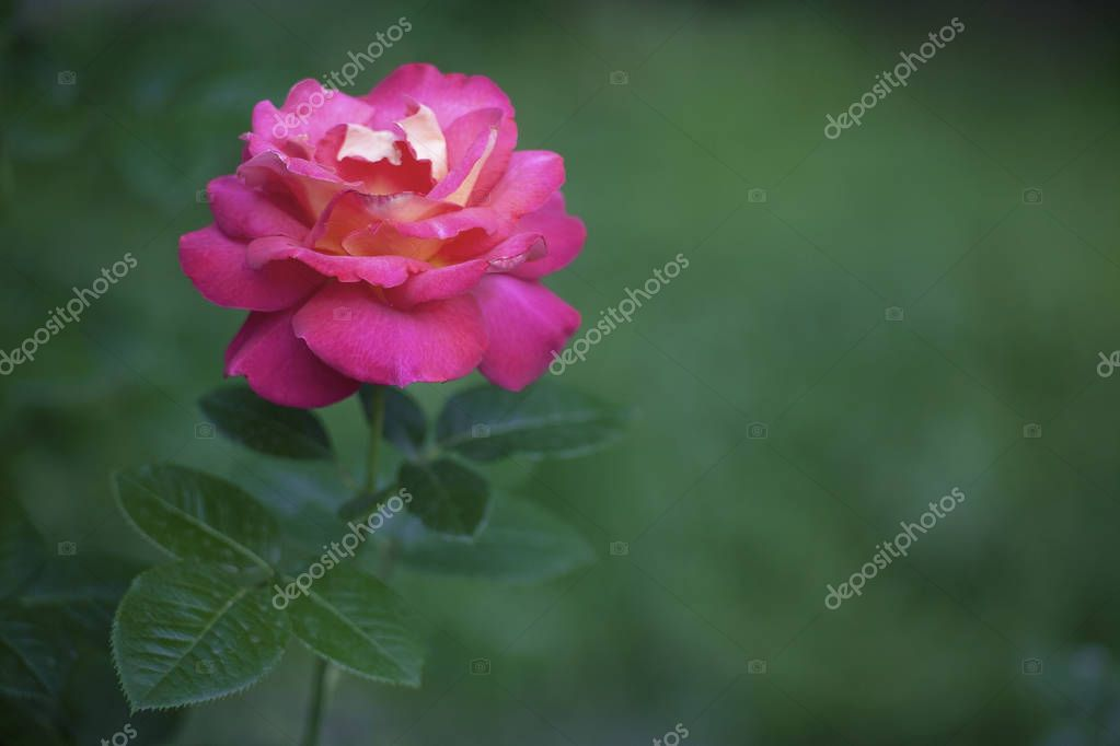 Close up photo of pink rose on blurred green background