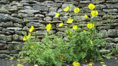 Flowering yellow Welsh poppies against grey stone wall in an English cottage garden .