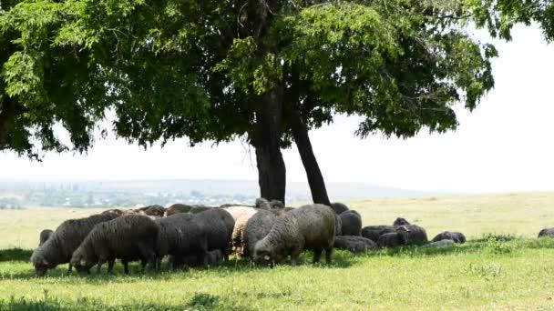 stádo ovcí pod stromy v travnatém poli