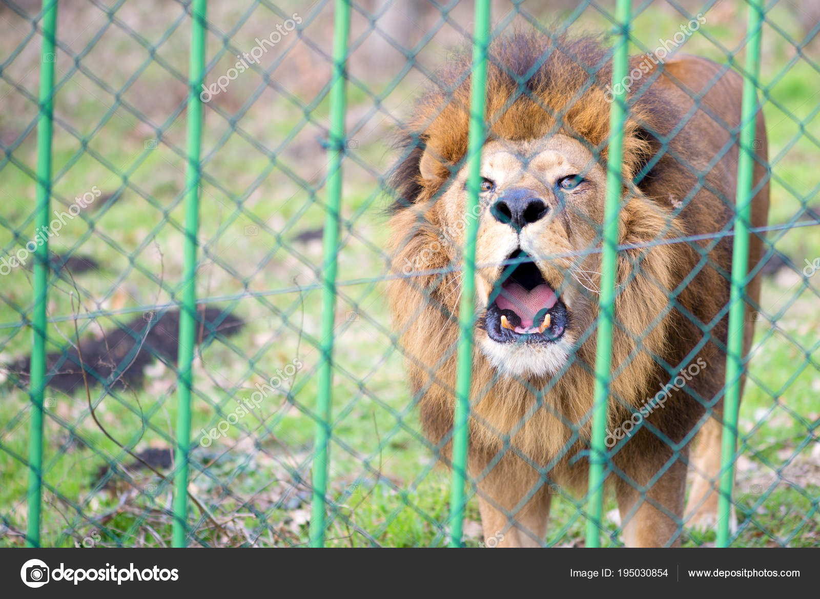 Innenarchitektur Loewe Zaun Referenz Von Löwe Zoo Hinter Dem — Stockfoto