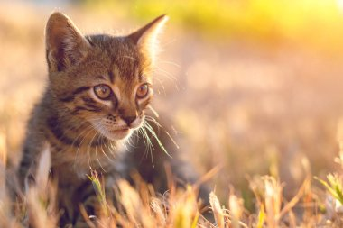Gray little striped cat playing on the grass with sunset background