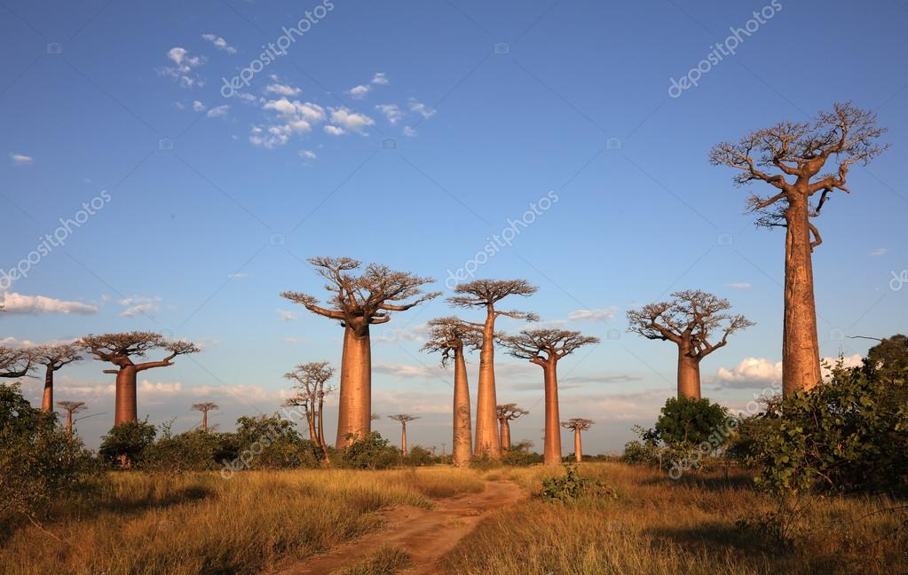Avenue of the Baobabs with dramatic sky