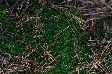 Texture of moss and fallen needles of pine. Wet surface of the ground with moss in autumn
