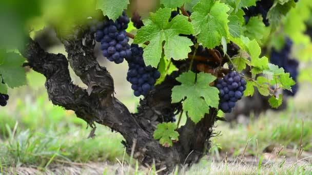 Detailní záběr z červených hroznů révy na vinici před sklizní