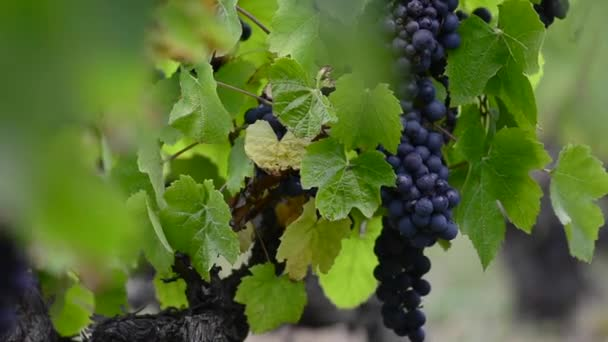 Close up of red grape of vine in vineyard before harvest