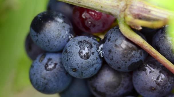 Közelkép a piros szőlő, a szőlő a szőlő, betakarítás előtt
