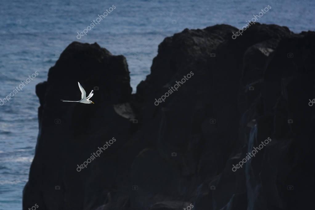 Paille en Queue or Phaeton bird, Reunion island