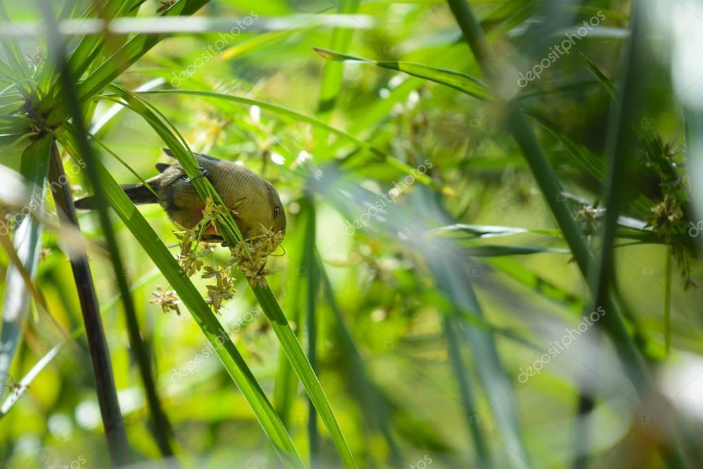 Little bird is playing in tree, Reunion Island