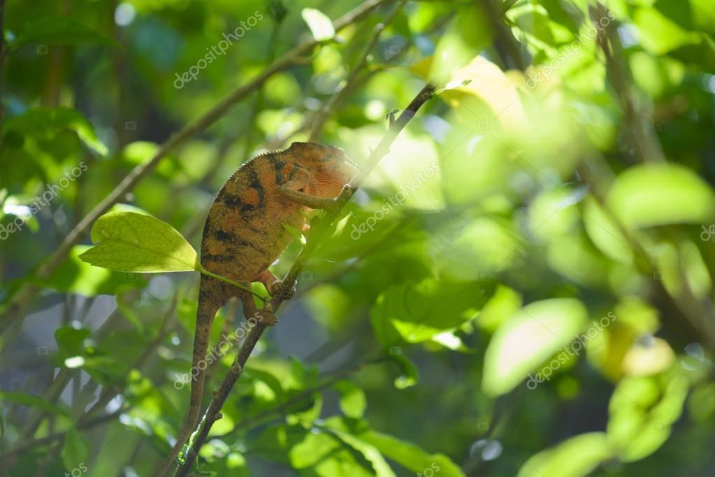 Chamaleon of Reunion Island