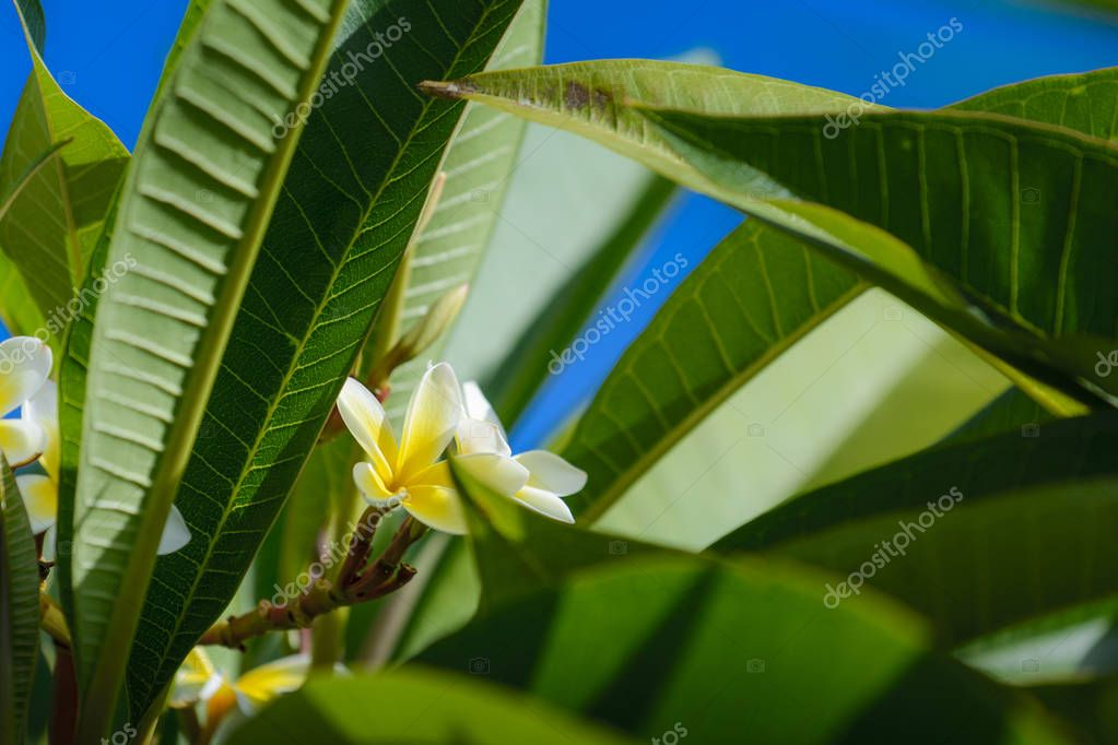 Plumeria or franginani flowers in nature