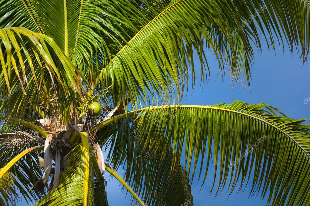 Coconut tree with a blue sky