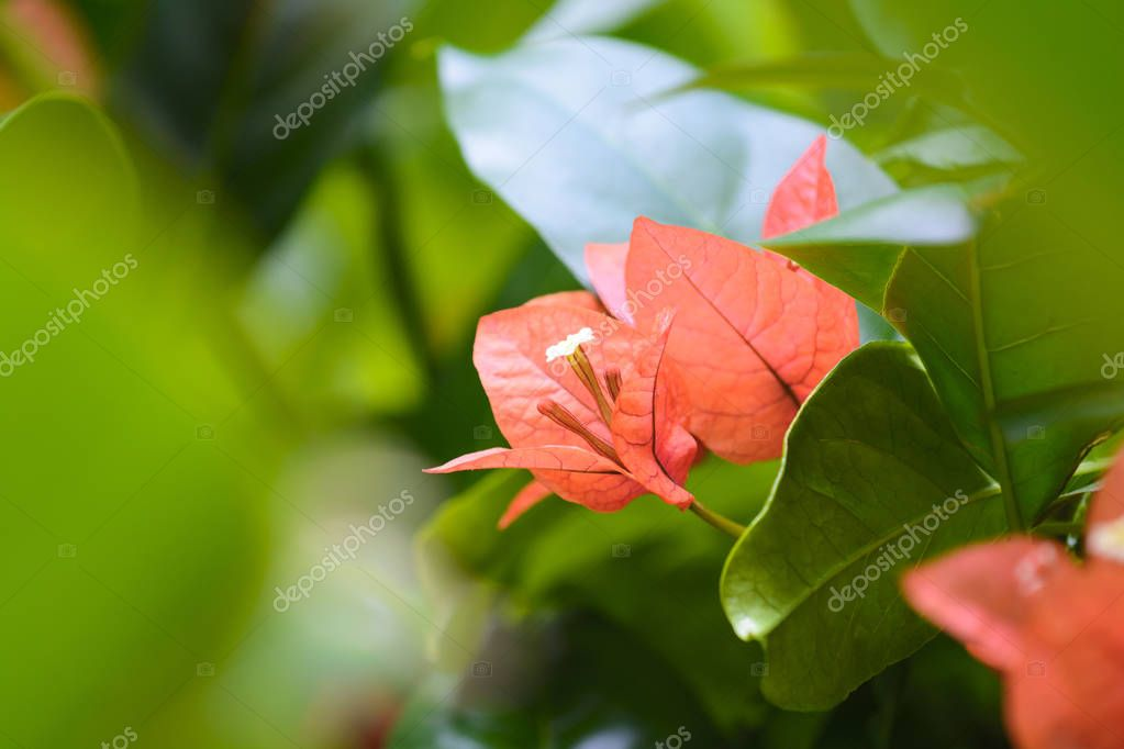 Bougainvillea flowers on garden