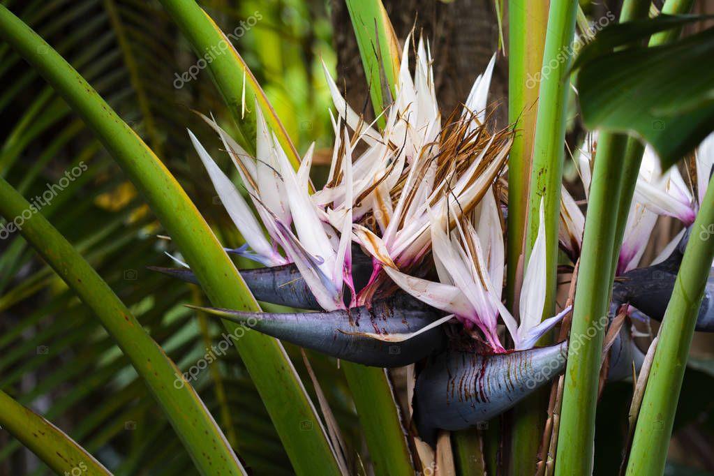Bird of Paradise flowers in garden