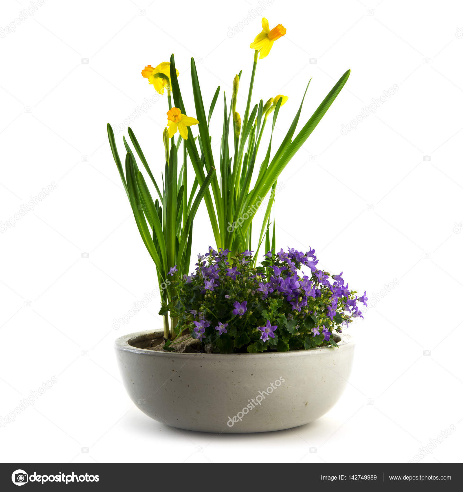 Spring flowers potted as easter decoration daffodils and bluebells spring flowers potted as easter decoration daffodils and bluebells isolated on white stock photo mightylinksfo