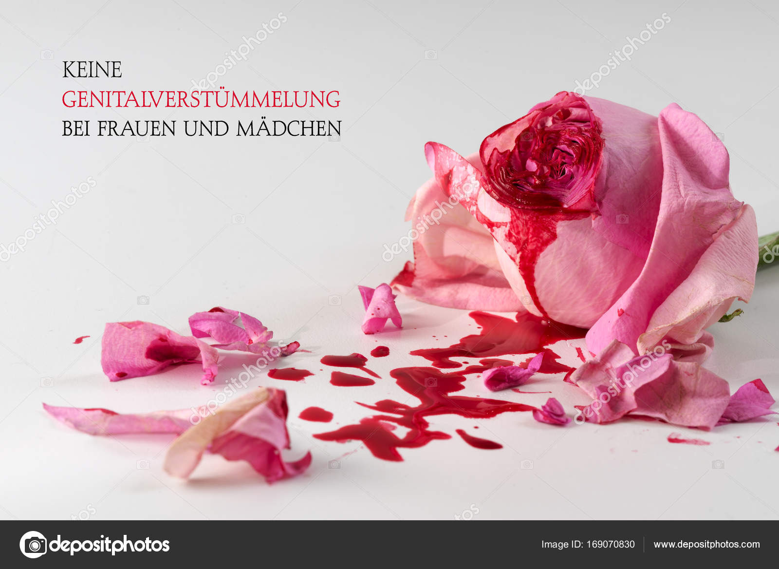 cut rose blossom, blood and petals on a bright gray background with ...