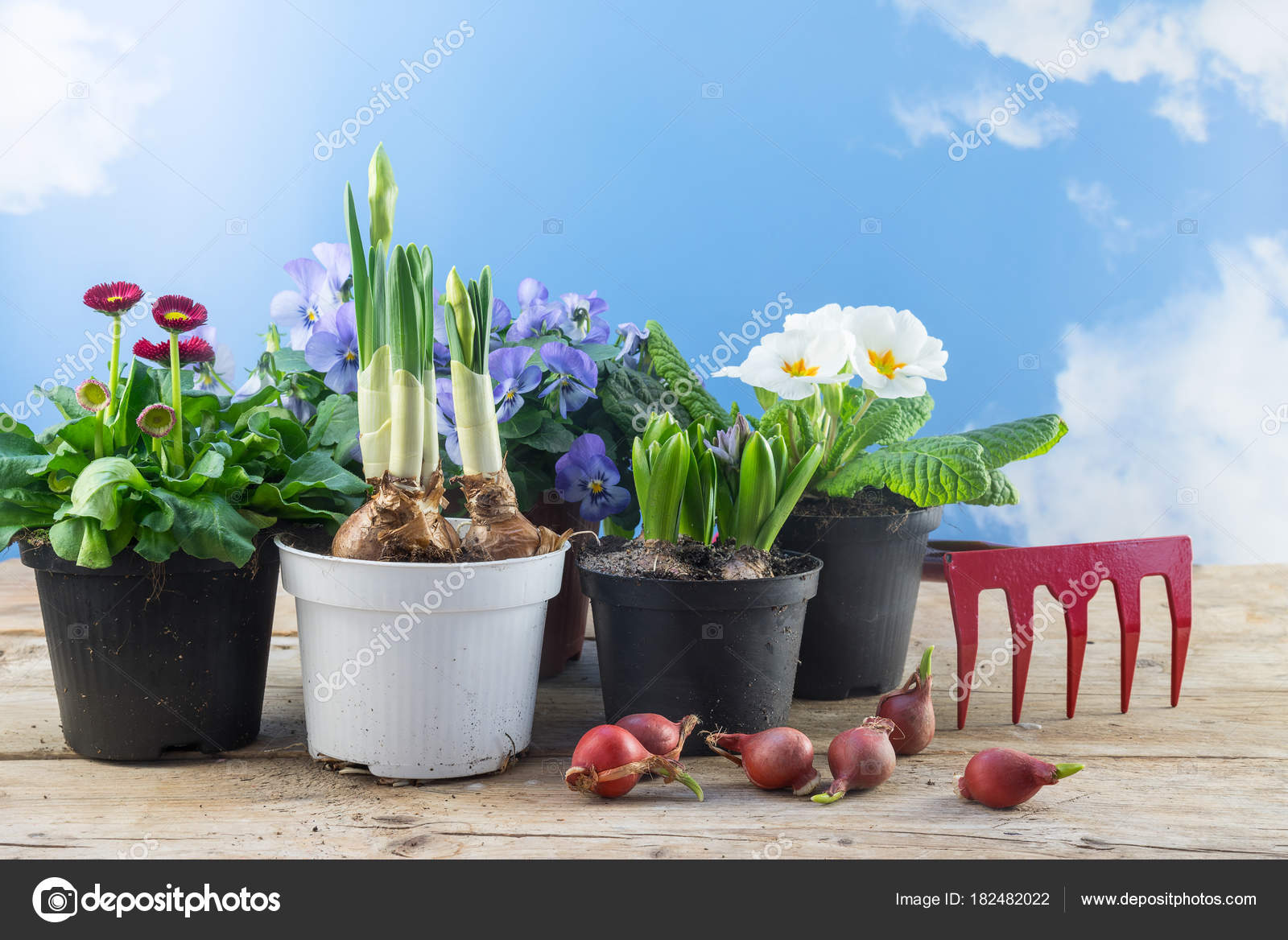 Spring Flowers In Pots And Some Flower Bulbs On Rustic Wooden Boards