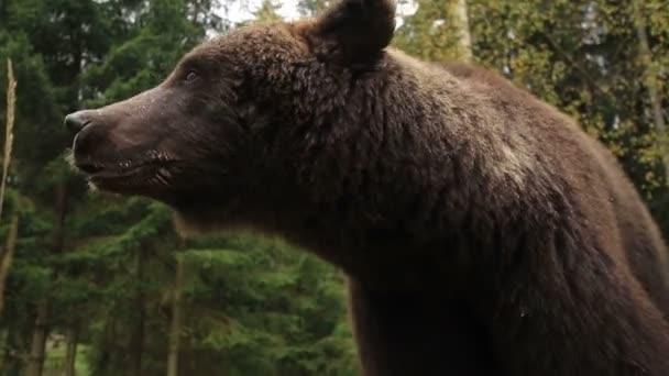 Wild Bear Growls