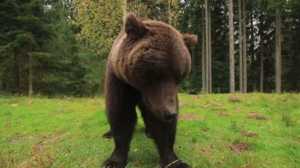 Barna medve közel a természetben