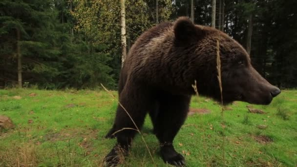 Medvěd se hlasitě dýchá