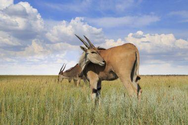 Wild Eland Antelopes