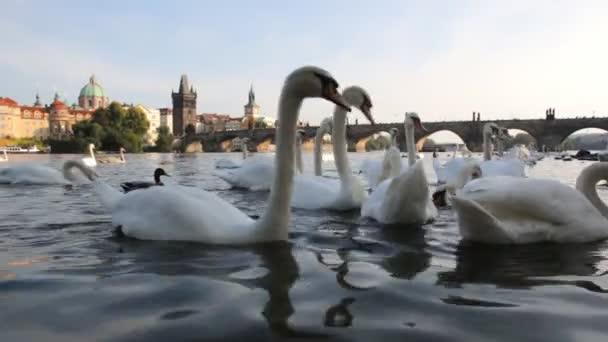 Labutě v Praze řeku Vltavu a Karlův most